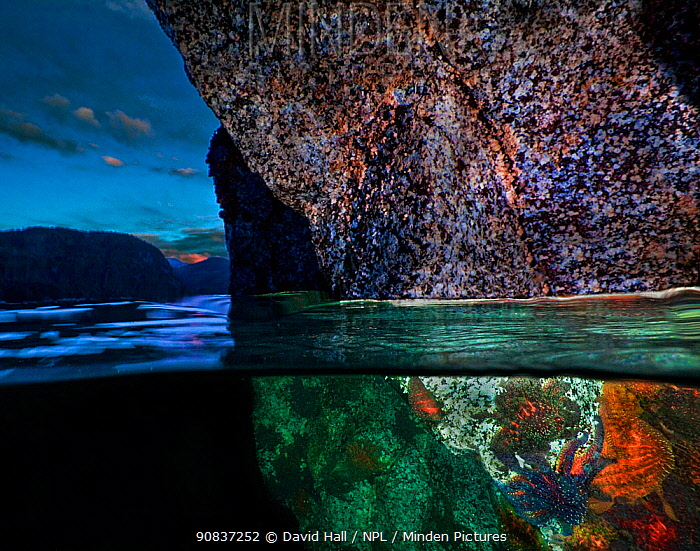 Split level of Sunflower stars (Pycnopodia helianthoides) on rocks underwater, Minstrel Island, British Columbia, Canada. March.