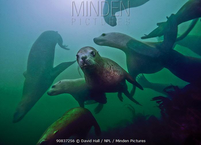 Steller sea lions (Eumetopias jubatus) playing underwater, Inian Island, Alaska, USA. August.