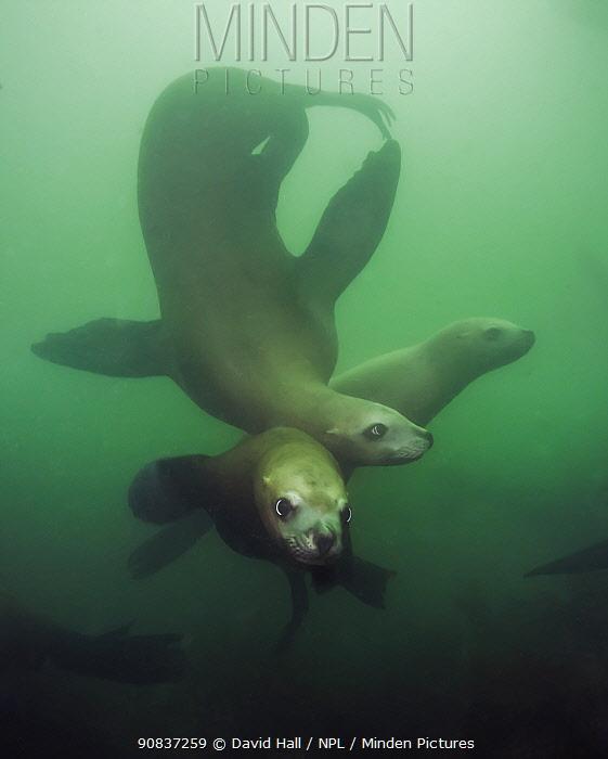 Steller sea lions (Eumetopias jubatus), three playing underwater, Inian Island, Alaska, USA. August.
