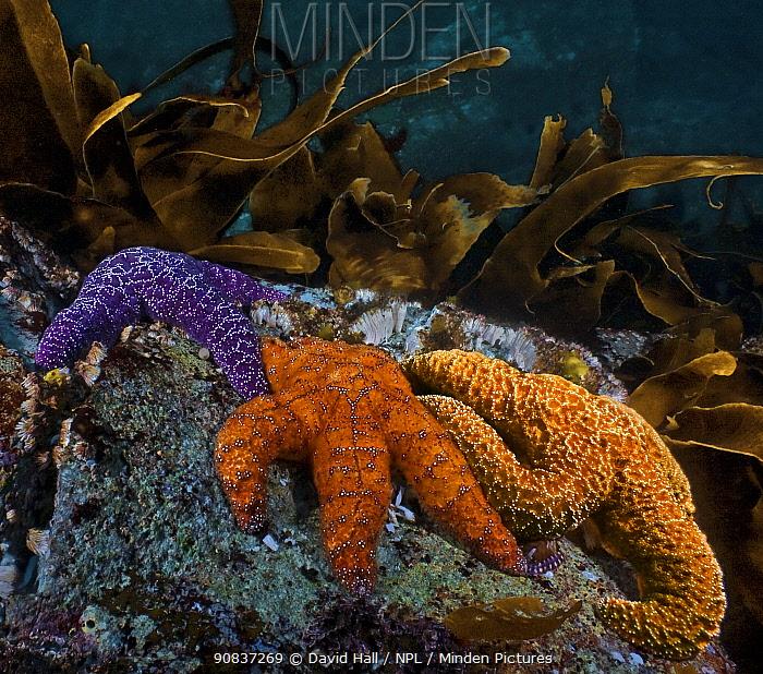 Ochre and purple sea stars (Pisaster ochraceus); North Wall, Nigei Island, Queen Charlotte Strait, British Columbia, Canada. October.