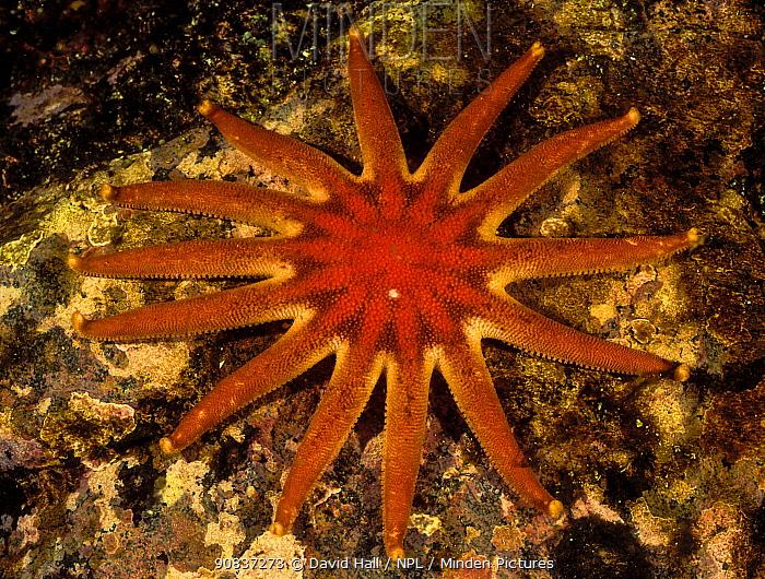 Morning sun star (Solaster dawsoni), Browning Pass, Queen Charlotte Strait, British Columbia, Canada. May.