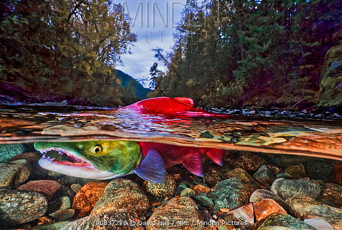 Split level of a Sockeye salmon (Oncorhynchus nerka) in shallow water; Adams River, British Columbia, Canada. October.
