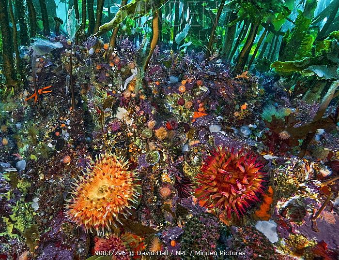 Rose anemone (Urticina piscivora), Painted anemone (Urticina crassicornis), Brooding anemones (Epiactis spp.), Plumose anemones (Metridium spp.), Bull kelp (Nereocystis luetkeana) and Stalked kelp (Pterygophora californica), Hunt Rock, Queen Charlotte Strait, British Columbia, Canada. October.