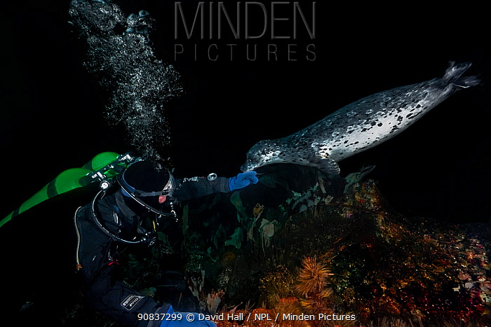 Diver extending his hand towards a Harbor seal (Phoca vitulina) which touched the diver's glove with its chin, Croker Rock, Queen Charlotte Strait, British Columbia, Canada. September. No model release.