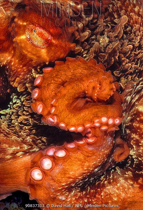 Giant Pacific octopus (Enteroctopus dofleini) close up of eye and arm curled, Vernon Rock, Queen Charlotte Strait, British Columbia, Canada. September.