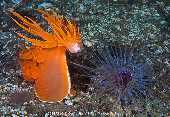 Giant dendronotid nudibranch (Dendronotus iris, left) rearing up, preparing to pounce on its prey, a Tube-dwelling anemone (Pachycerianthus fimbriatus, right) which emerges from its tube at night, Staples Island, Queen Charlotte Strait, British Columbia, Canada. September. Sequence 2 of 4
