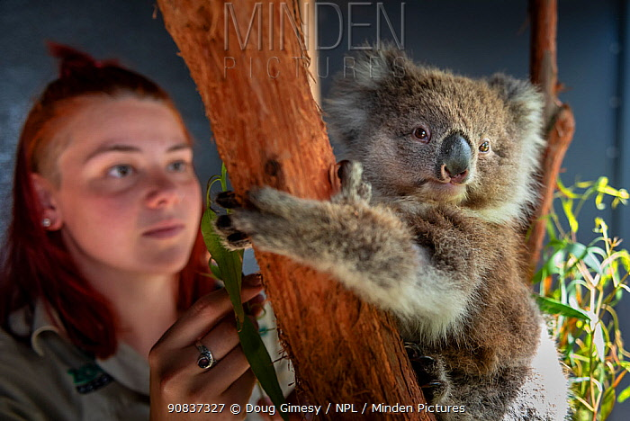 Toby, a baby female Koala (Phascolarctos cinereus) rescued from Gelantipy, East Gippsland, following the bushfires and now in care at Zoos Victoria Helasville Sanctuary, looked after by zoo keeper Courtney Pridgeon.? ?Healsville Sanctuary, ? ?Victoria, Australia. Model released.