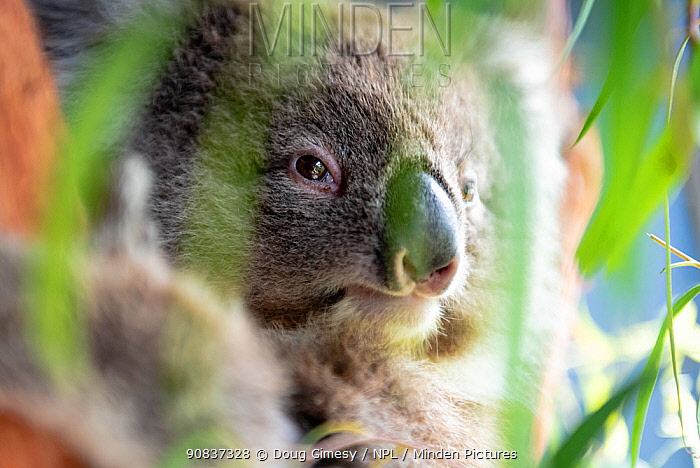 Toby, a baby female Koala (Phascolarctos cinereus) rescued from Gelantipy, East Gippsland, following the 2019 / 2020 bushfires, in care at Zoos Victoria Healsville Sanctuary. Victoria, Australia. February 2020