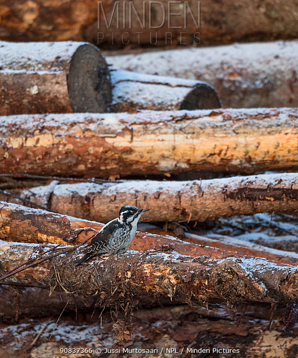 White-backed woodpecker, (Dendrocopos leucotos), male looking for food on logs, Finland, January.