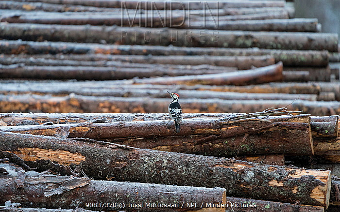 White-backed woodpecker, (Dendrocopos leucotos), male looking for food on cut logs, Finland, January.