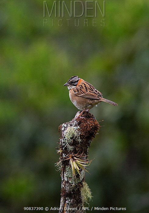 Rufous collared sparrow (Zonotriochia capensis) Costa Rica.
