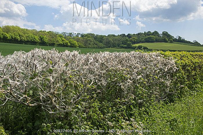 Ermine moth (Yponomeuta sp) large webs on hedge, Kent, England, UK, May.