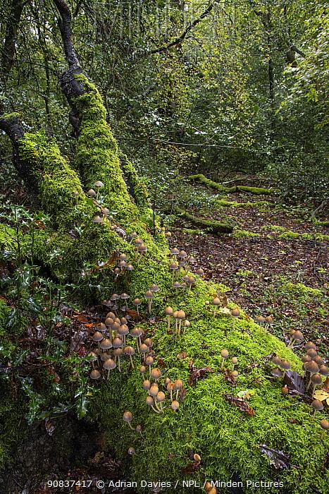 Common bonnet fungus (Mycena galericulata) Sussex, England, UK, October.