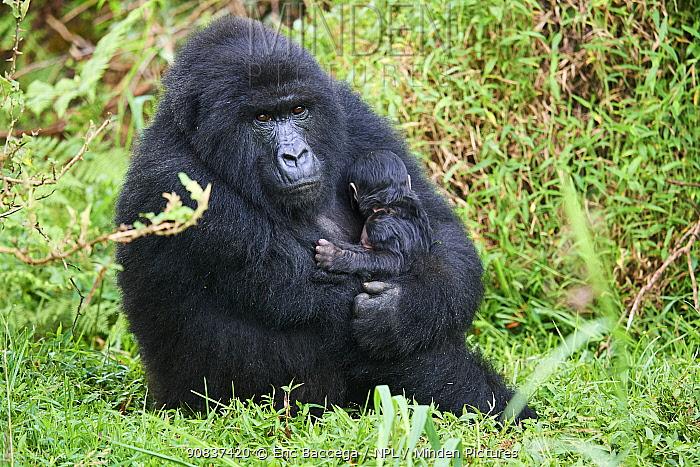 Mountain gorilla (Gorilla beringei) mother holding newborn, member of the Hirwa group, Mgahinga National Park, Uganda.