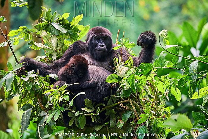 Mountain gorilla (Gorilla beringei) mother with one month baby feeding in tree. Member of Katwe group. Bwindi Impenetrable Forest National Park, Uganda, Africa