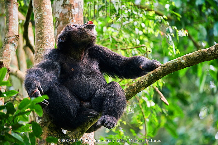 Chimpanzee (Pan troglodytes schweinfurthii) male vocalising in tree, Kibale National Park, Uganda, Africa