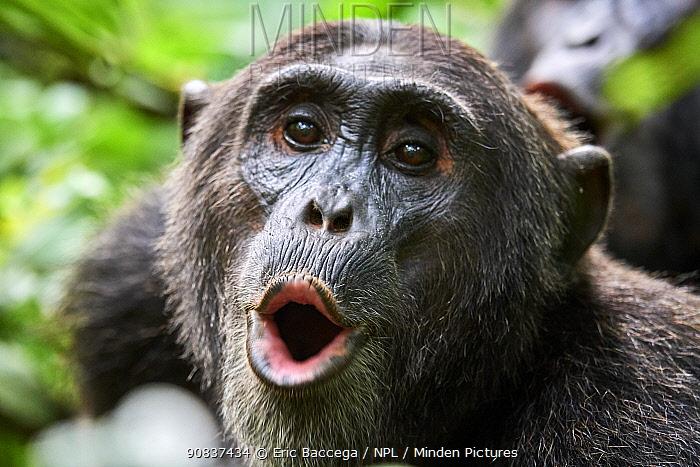 Chimpanzee (Pan troglodytes schweinfurthii) male vocalising, Kibale National Park, Uganda, Africa