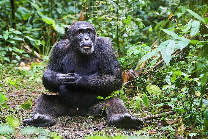 Chimpanzee (Pan troglodytes schweinfurthii) male sitting in the forest. Kibale National Park, Uganda, Africa