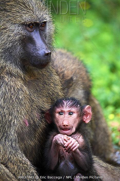 Olive baboon (Papio hamadryas anubis) baby with its mother, Kibale National Park, Uganda, Africa