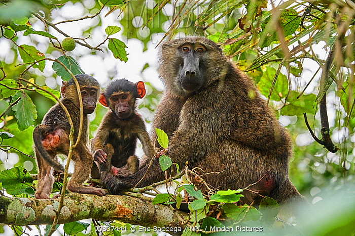 Olive baboon (Papio hamadryas anubis) mother with babies in a tree. Kibale National Park, Uganda, Africa