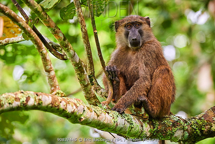 Olive baboon (Papio hamadryas anubis) juvenile in a tree. Kibale National Park, Uganda,