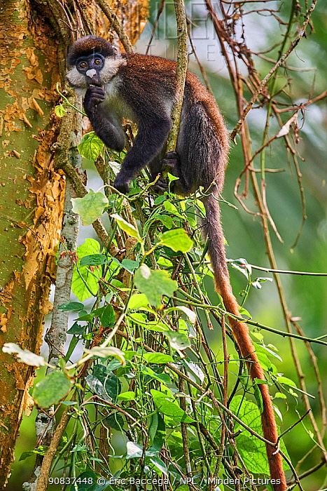 Red tailed monkey (Cercopithecus ascanius) in a tree. Kibale National Park, Uganda, Africa