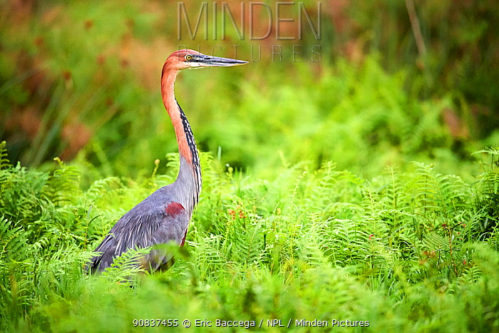 Goliath heron (Ardea goliath) standing in the swamps of Mabamba, Lake Victoria, Uganda.