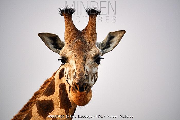 Head portrait Rothschild's giraffe (Giraffa camelopardalis rothschildi) in Murchisson Falls National Park, Uganda, Africa