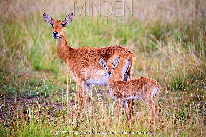 Uganda kob (Kobus kob thomasi), female and baby, standing alert, Queen Elizabeth National Park, Uganda.