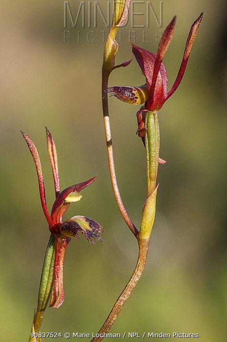 Hare orchid (Leporella fimbriata) Jarrah Forest - Darling Range, Western Australia. Western Australian endemic