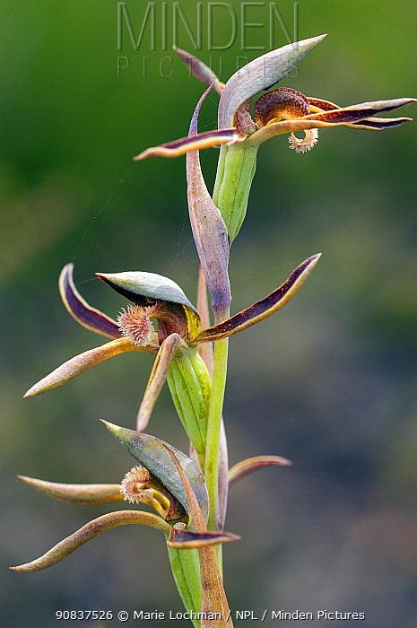 Rattle Beak orchid (Lyperanthus serratus) near Donelly River - South West, Western Australia. Western Australian endemic
