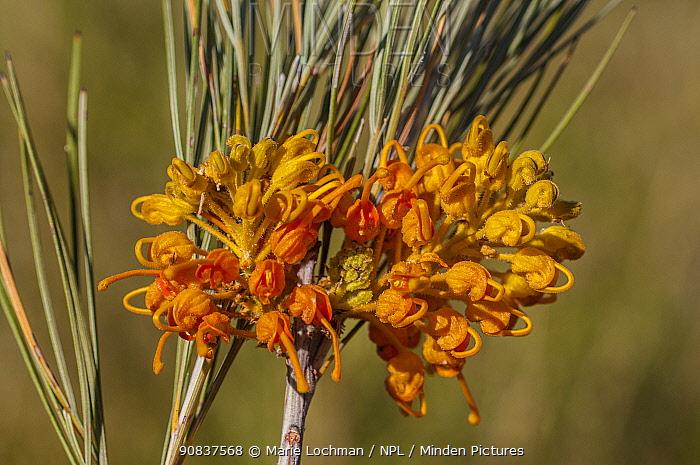 Honey-suckle grevillea (Grevillea juncifolia) Gibson Desert, Western Australia. Endemic.