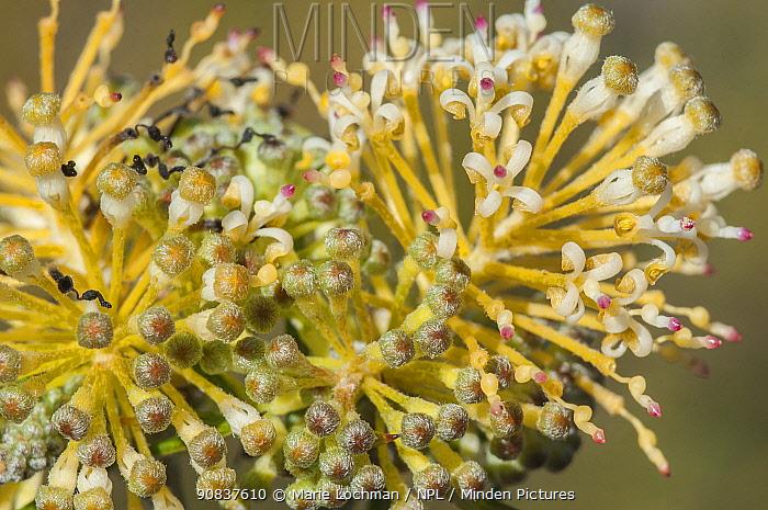 Grevillea (Grevillea erinacea) flower, Western Australian endemic,
