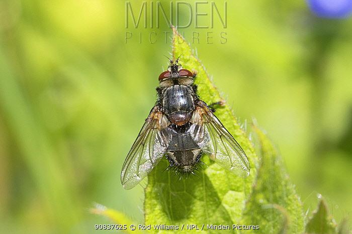 Tachinid parasitic fly (Blepharipa pratensis) Rare species, new to London area. Beverley Court Gardens, Lewisham, London, England, UK, May.