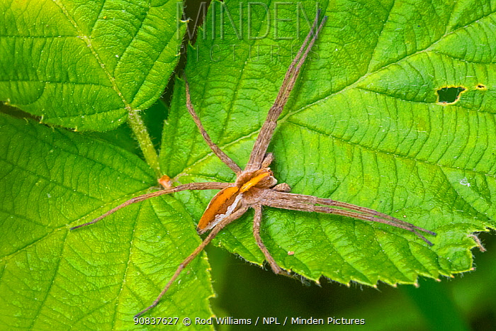 Nursery web spider (Pisaura mirabilis) female, unusual colour morph, Brockley Cemetery, Lewisham, London, England, UK. May.