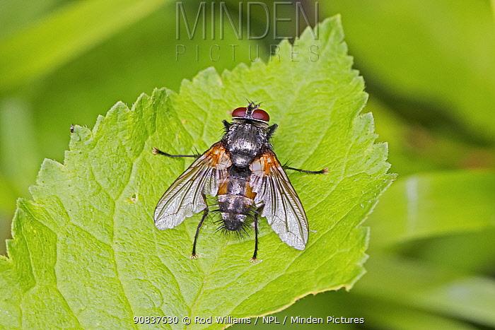 Tachinid parasitic fly (Thelaira nigripes) Sutcliffe Park Nature Reserve, Eltham, London, England, UK, June.