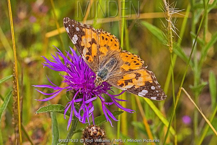 Painted lady butterfly (Vanessa cardui) feeding on knapweed Sutcliffe Park Nature Reserve, Eltham, London, England, UK. June.