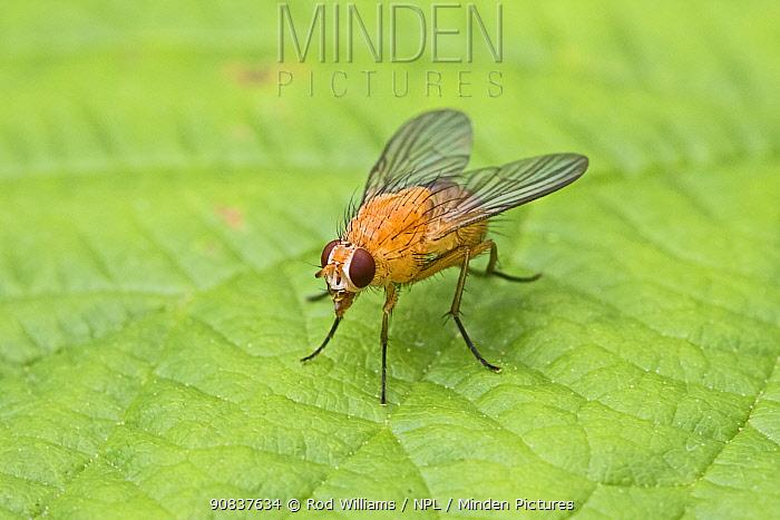 Orange muscid fly (Phaonia pallida) female, Hutchinson's Bank, New Addington, London, England, UK. June.