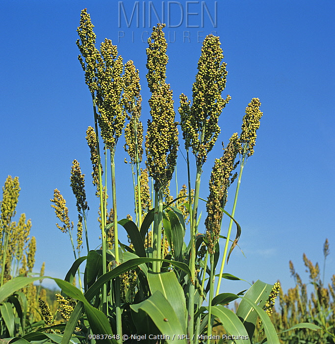 Maturing crop of Sorghum / Great millet (Sorghum bicolor) ears and leaves of a large plant in crop Tennessee, USA, October