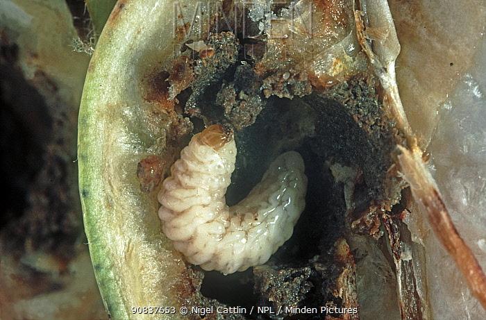 Cotton boll weevil (Anthonomus grandis) pest larva in a damaged unripe cotton boll, Mississipi, USA, October