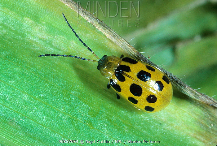 Southern spotted cucumber beetle or southern corn rootworm (Diabrotica undecimpunctata) adult