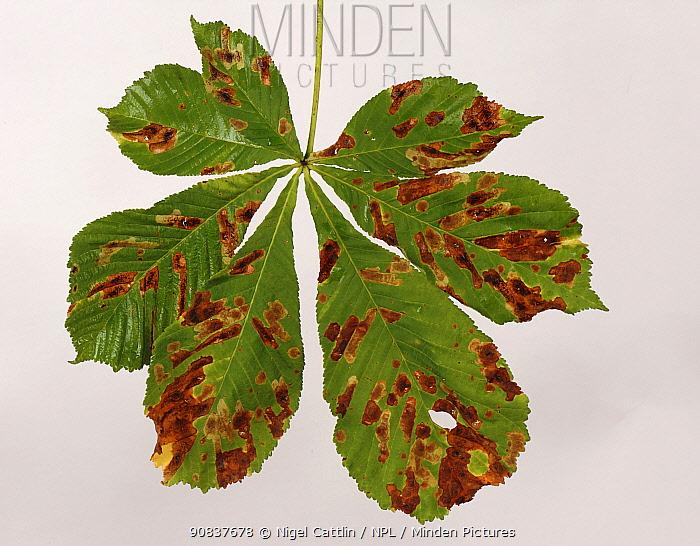 Damage to horse chestnut (Aesculus hippocastanum) leaf caused by leaf-miner (Cameraria ohridella) larvae, Berkshire, September
