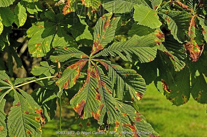 Horse chestnut leaf blotch (Guignardia aesculi) spots on a horse chestnut (Aesculus hippocastanum) leaf, Devon, England, UK. September