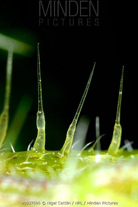 Photomicrograph of stinging hairs, spicules or trichomes of a Stinging nettle (Urtica dioica), Devon, England, UK, June