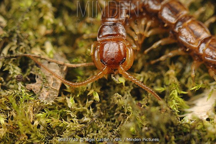 Centipede (Lithobius forficatus) adult , UK, June ,
