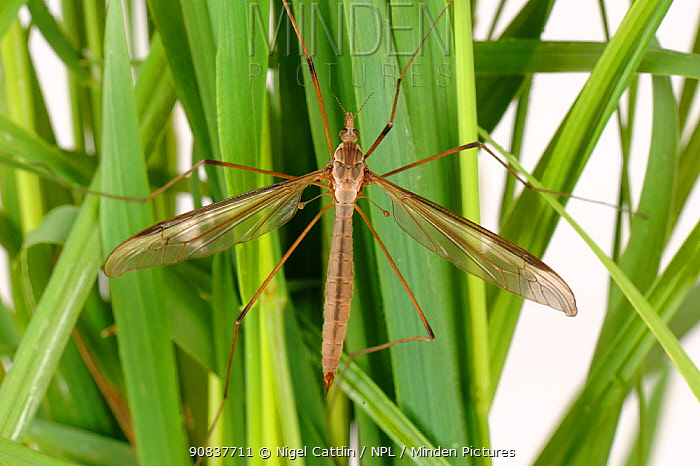 Crane fly (Tipula oleracea) adult on meadow grass during a hatching cycle, Devon, England, UK, June