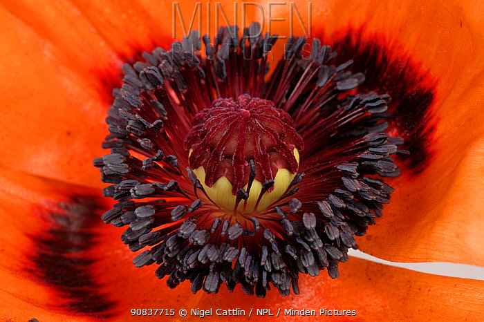 Close up of Oriental poppy flower (Papaver orientalis), dark anthers, stamens, filaments, ovary, stigma against red petals , Devon, England, UK. June.