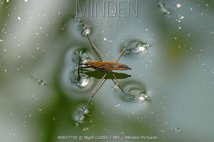 Pond skater (Gerris lacustris) on water surface with duckweed and algae , Devon, England, UK. July.