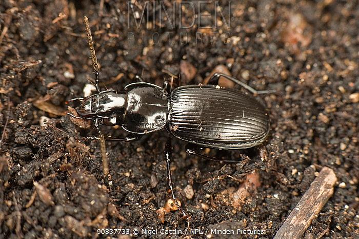 Predatory ground beetle (Nebria brevicollis) alert on soil , Devon, England, UK. July.