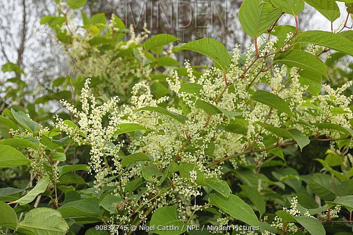 Japanese knotweed (Reynoutria japonica) flowering plants on waste ground, Devon, England, UK. September